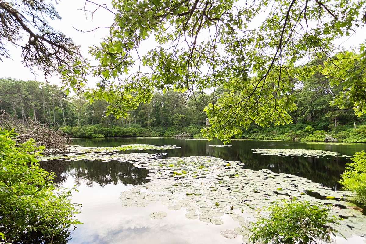 Lily Pond Pines in Eastham MA